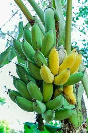 Green & yellow  bananas on a tree Stock Photo