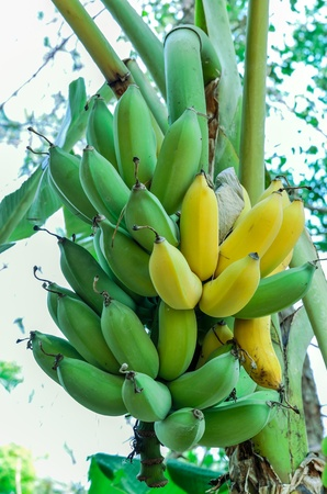 Green & yellow  bananas on a tree Stock Photo