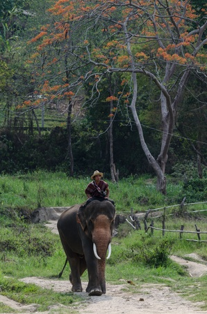 Chiang Mai, THAILAND - April. 13: thailand Mahout  riding on his elephant backs  , April 13, 2012 in Chiang Mai, Thailand Stock Photo - 13257696