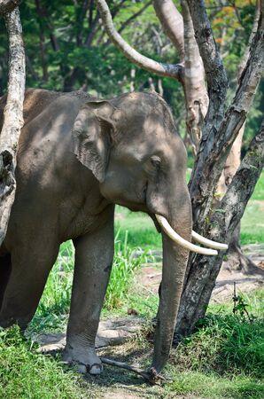 theasia elephant in jungle Stock Photo - 13577597