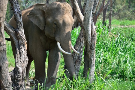 theasia elephant in jungle photo
