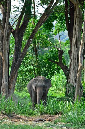 the old asia elephant in jungle