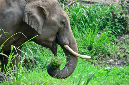 asia Elephant eating grass in forest Stock Photo