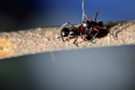 ants on a stick, finding some food Stock Photo - 13629374