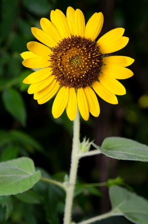 beautiful sunflower weed vertical, stand alone photo