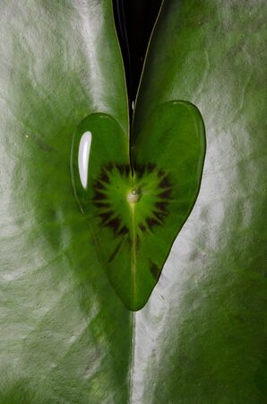 Water lily leaf with a water drop heart shape photo