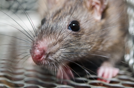 리테이너 타입의 쥐