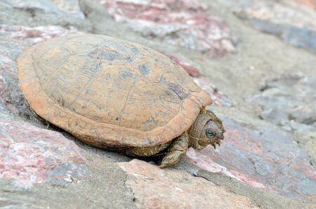 land turtle: Sunbathing land turtle