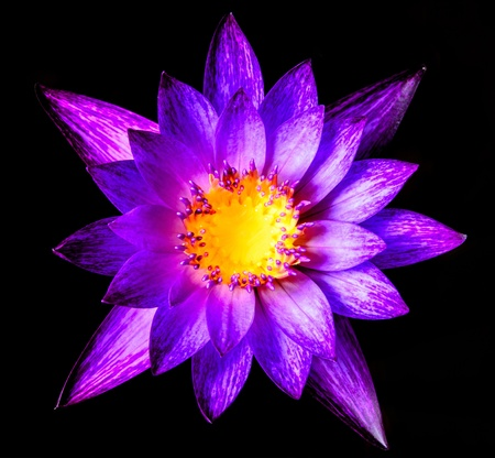 Beautiful purple water lilly or lotus on water and black background