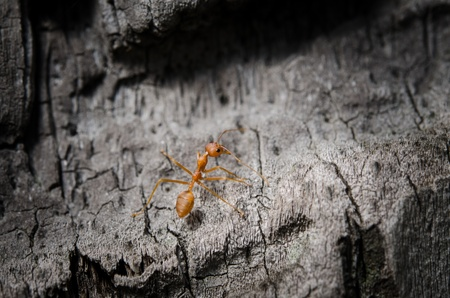 the red ant searching for some food