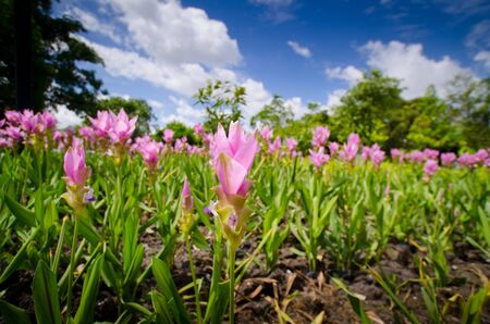 Siam tulip flowers in garden and blue sky