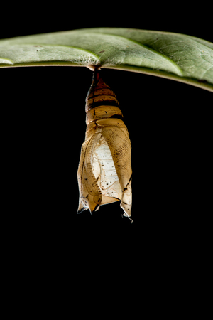 emerge: the empty chrysalis of butterfly hanging on branch Stock Photo