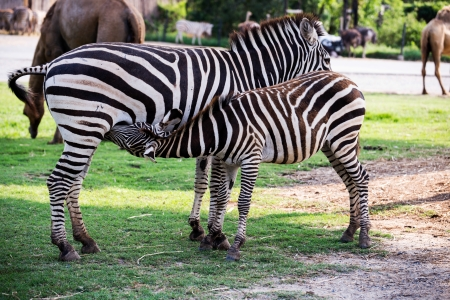 Mother Zebra Nursing her Foal