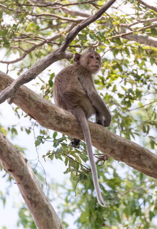 Portrait of young rhesus macaque monkey on tree Stock Photo