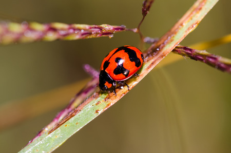 red-black lady bug