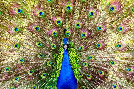 peacock close up shot
