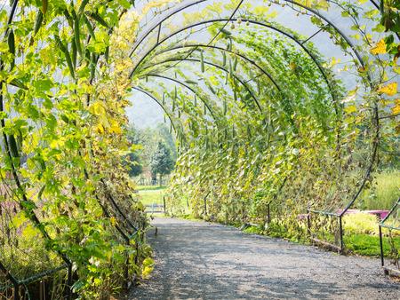 angled: Tree tunnel of Angled Luffa plant