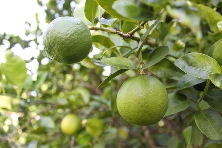 citron: citron, lemon