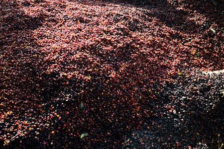 Coffee beans are drying at coffee farm, Thailand