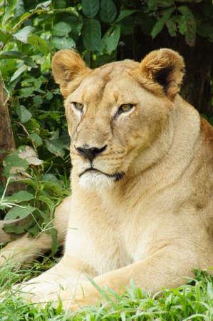 Vrouwelijke leeuw Stockfoto