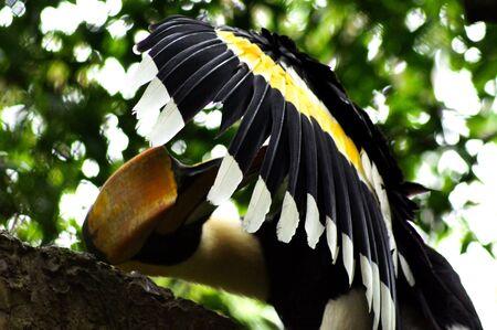 Hornbill certainly wings photo
