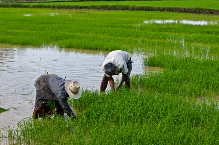 Thai farmer planting on the paddy rice farmland photo