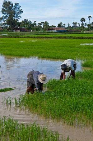 Thai farmer planting on the paddy rice farmland photo