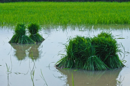 Sapling rice in Farm at Southern of Thailand. photo