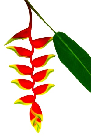 beautiful Heliconia flower blooming in vivid colors