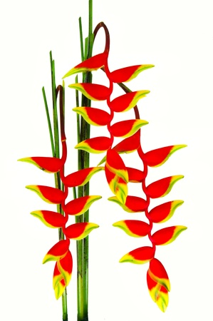 beautiful Heliconia flower blooming in vivid colors Stock Photo - 12380969