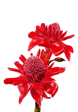 Red flower of etlingera elatior photo