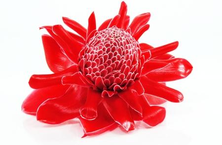 Red flower of etlingera elatior photo