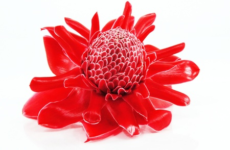 heliconia: Red flower of etlingera elatior
