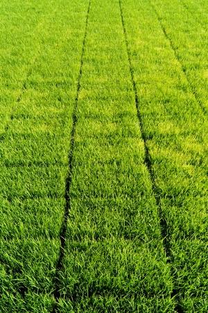 paddy: Sapling rice