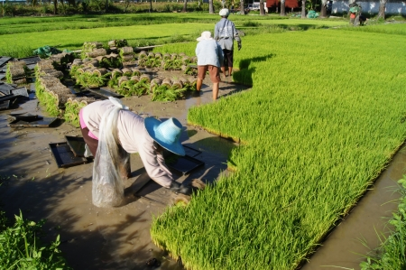 Thai farmer planting Sapling rice