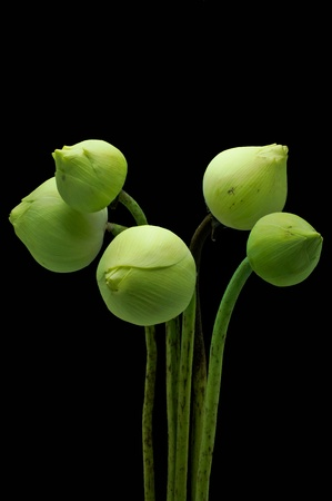 Green Lotus on black background  Stock Photo - 12639227