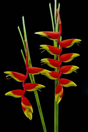 Beautiful Heliconia flower blooming in vivid colors photo