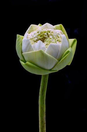 White Lotus on black background. Stock Photo - 12639228