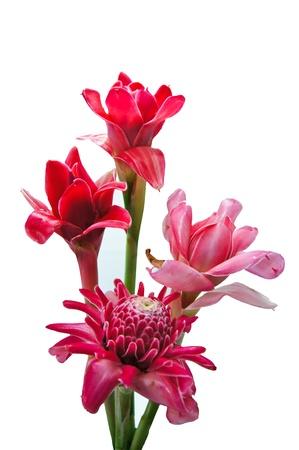 Pink flower of etlingera elatior photo