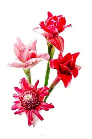 heliconia: Pink flower of etlingera elatior