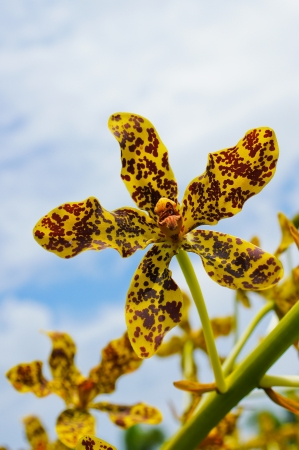 bl: Largest orchid in the world, Scientific name  Grammatophyllum specinocum BL
