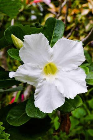 adenium obesum balf: Desert Rose, Scientific name   Adenium obesum Balf  Stock Photo
