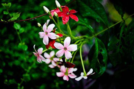 linn: Rangoon creeper, (Quisqualis indica Linn. in science name)