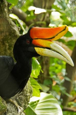 Hornbill Standard-Bild