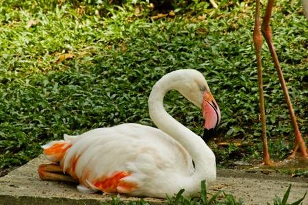 White flamingo Stock Photo - 14452225