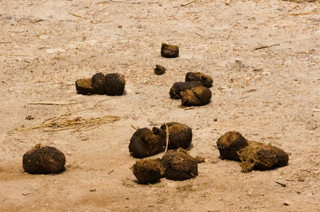 Elephant dung in dirt road