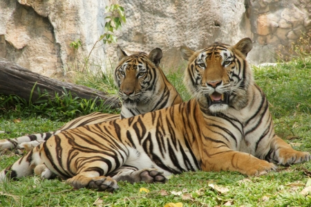 Royal Bengal tiger Stock Photo - 14452222