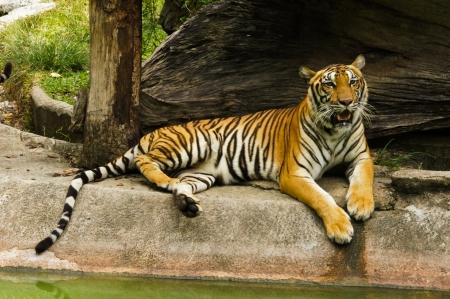 Royal Bengal tiger photo