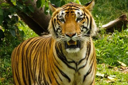 Tigre real de Bengala Foto de archivo