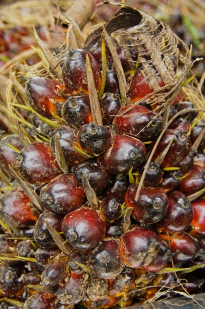 red palm oil: Olio di Palma di semi Archivio Fotografico